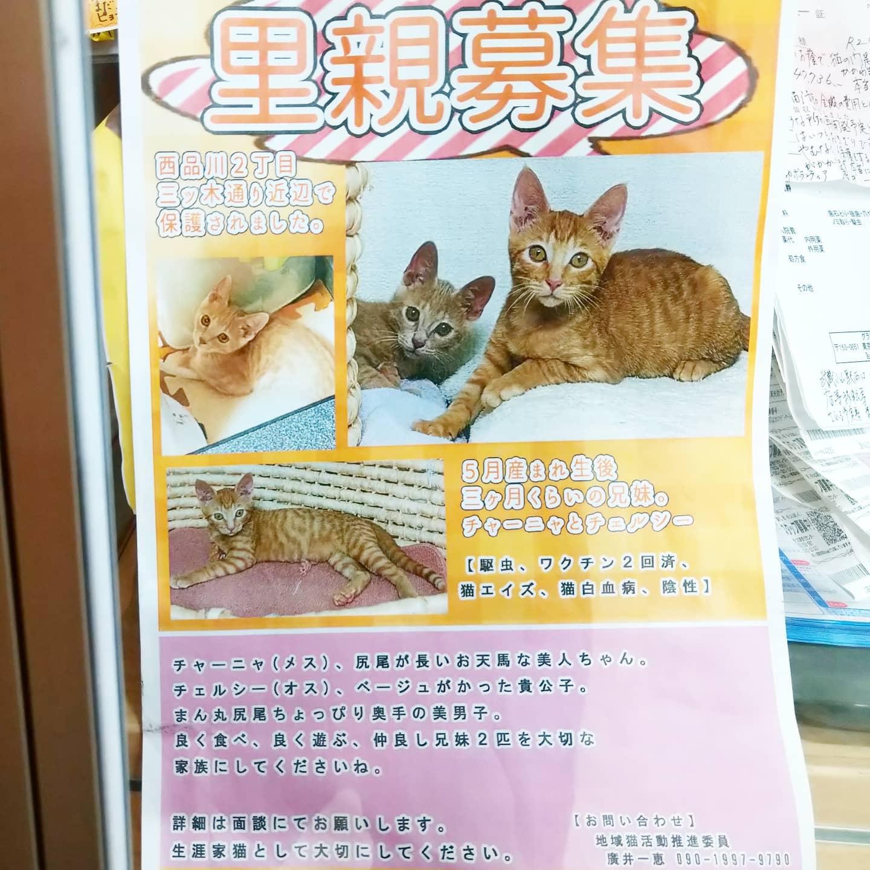 #武蔵小山情報 #里親募集 茶トラの子猫のチャーニャとチェルシーが保護されとります。